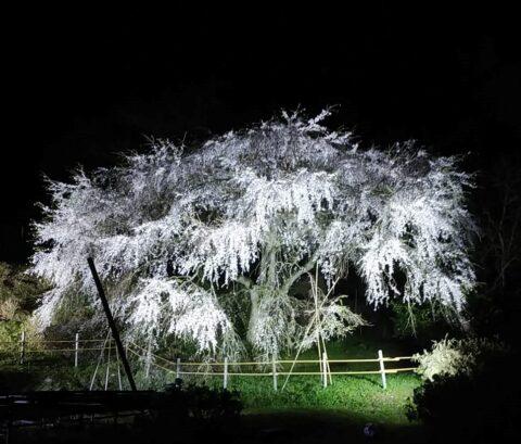 『天神山の大しだれ桜』夜間ライトアップについてのお知らせ