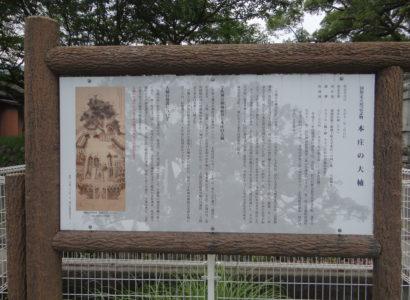 本庄の大楠(国指定天然記念物)の画像1