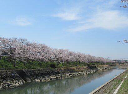 城井川堤防桜並木