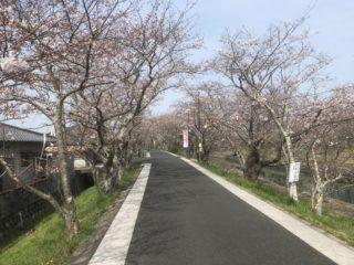 岩丸川の桜並木